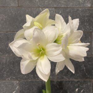 Alasca_Amaryllis Bulb_Size 26.28_white